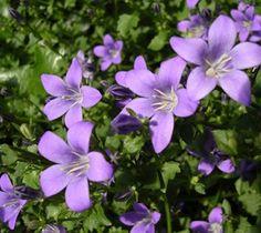 Grow Campanula in Your Summer Garden Victory Garden, Raised Garden Beds, Raised Bed, Plantation, Cool Plants, Summer Garden, Horticulture, Shrubs, Garden Landscaping