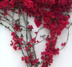 Bougainvillea.  I plan to plant these to climb the Pergola I will build.
