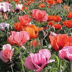 how to grow poppys indoors
