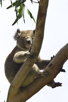 Both CAPE OTWAY IN VICTORIA and KANGAROO ISLAND IN SOUTH AUSTRALIA hold delightful and highly accessible locations for koala photography!  Travel tips and slideshow published at http://www.examiner.com/article/astounding-nature-casts-a-spell-of-koala-magic-australia