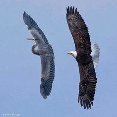 This Bald Eagle was chasing the Great Blue Heron away from the eggs in her nest. by Owen Deutsch