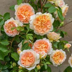 Bathsheba climbing rose. A vigorous repeat-flowering short climber, bearing many petalled rosettes. The blooms are a beautiful blend of colours, giving the overall impression of rich apricot. They have a superb myrrh fragrance - floral and warm in character, with hints of honey.