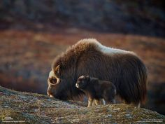 A mother musk-ox with her baby, only a few weeks old.
