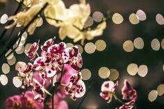 Phalaenopsis, orquidia.