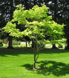 acer shirasawanum aureum - Google Search