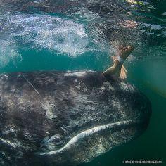 A baby gray whale gets a good rub down next to our boat (taken last weekend in San Ignacio Lagoon, Baja California, Mexico. #underwater #whale #baby w/ @A Lam @kozyndan @Meghan Kozy Kitchens