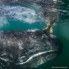 A baby gray whale gets a good rub down next to our boat (taken last weekend in San Ignacio Lagoon, Baja California, Mexico. #underwater #whale #baby w/ @A Lam @kozyndan @Meghan Krane Kozy Kitchens