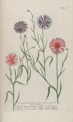 Cyanus. Illustrations from 'Phytanthoza Iconographia' by Johann Wilhelm Weinmann. Published 1737. Missouri Botanical Garden. archive.org
