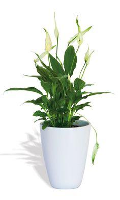 Espatifilo  Elimina la mayoría de sustancias. Muy decorativa y fácil de mantener, sus elegantes flores blancas florecen todo el año.