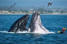 Es ist nicht ungewöhnlich, dass sich Buckelwale in küstennahen Gewässern aufhalten und in Buchten und Flussmündungen auftauchen. Tiefe Meeresgebiete durchqueren sie in der Regel nur auf ihren Wanderungen