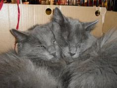 ADOPTED!  Marvin and Biscuit: Nebelung Twins need to be placed together.  They are really love bugs too!