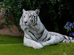 2. Tigre de bengala branco