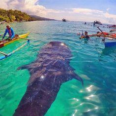 Whale Shark in Oslob, Cebu, Philippines Wow! Make sure to visit Oslob Cebu, Philippines. Voyage Philippines, Les Philippines, Philippines Travel, Places To Travel, Places To Go, Travel Destinations, Wale, Ocean Creatures, Ocean Life