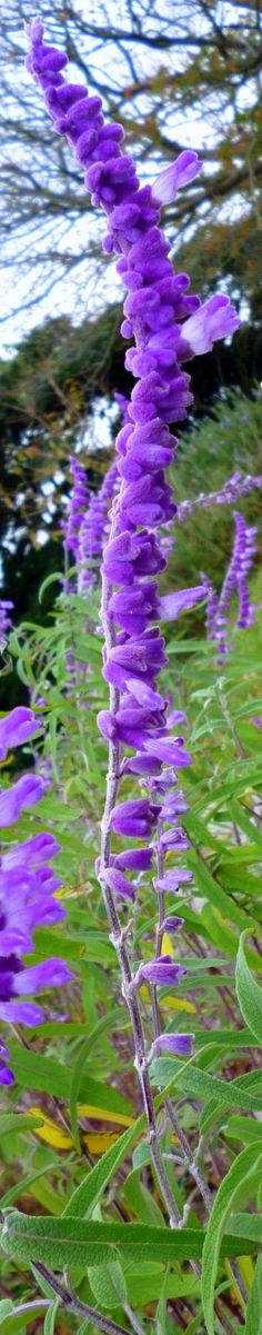 Salvia leucantha, Hirado, Nagasaki, Japan // Great Gardens & Ideas //