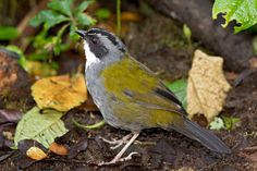 Gorrión-montés-Listado---Stripe-headed-Brush-Finch---Arremon-(Buarremon)-torquatus. Reserva Rio Blanco, Manizales.