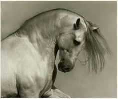 Andalusian Absolutely gorgeous photos of horses All The Pretty Horses, Beautiful Horses, Animals Beautiful, Horse Photos, Horse Pictures, Face Pictures, Zebras, Horse Face, Andalusian Horse