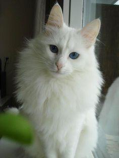 ¿Conoces al gato de Angora?