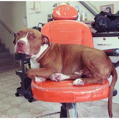 Casal de cabeleireiros de SP tem dois pitbulls de recepcionistas no salão! E adivinha?  As clientes amam!! ❤ Confira a reportagem: https://sugarpitbulls.wordpress.com/2015/05/07/salao-de-beleza/
