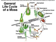 www.life cycle of a moss - Google Search