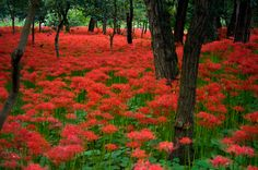 Gorgeous Red Spider Lily Field in South Korea!