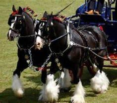 Draft Horses
