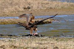 Ave rapaz. Aguilucho lagunero depredando un cormoran. circus aeruginosus. Autor Carles Pastor