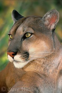 Mountain Lion Wild Kingdom