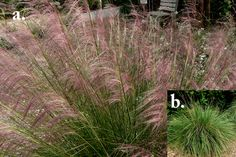 Muhly Grass. Florida Native Plants Nursery
