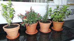 Manjericão, pimenta e hortelã são alguma das espécies que podem ser cultivadas na mini-horta - Mini horta / Horta caseira