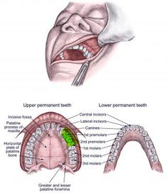 Dental Assistant Study, Dental Hygiene Student, Dental Hygienist, Oral Pathology, Radiology Humor, Dental Jokes, Human Body Organs, Tooth Chart, Braces Colors
