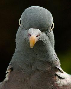 Wood Pigeon - Ringeltaube by  pe_ha45    Flickr