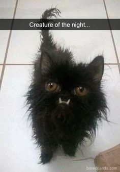 What an Expression! A Feline Ninja baby. With all that determination in it's eyes, and all that black Fluff. A real raven beauty when she grows up. Those teeth! Pretty Cats, Beautiful Cats, Animals Beautiful, I Love Cats, Crazy Cats, Cool Cats, Funny Cat Memes, Funny Cats, Chat Bizarre