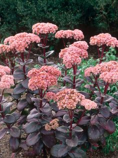 'Matrona' Sedum in Picking Plants for Knee-to-Thigh-High: Medium-Sized Perennials from HGTV