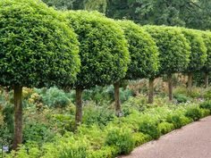 prunus lusitanica clipped standard trees - Google Search