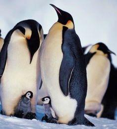 Emperor penguins via www.Facebook/OurWorldsView