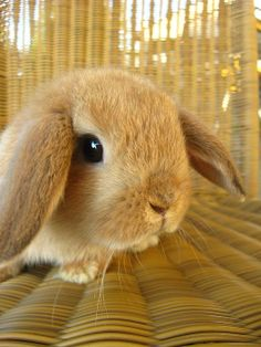 Chester Pickle Bottom Holland Lop: photo by Christine Carter