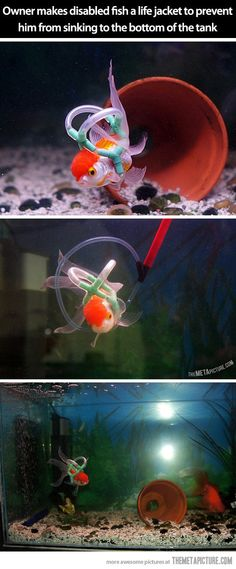 Meet Einstein the goldfish…Owner makes disabled fish a life jacket to prevent him from sinking to the bottom of the tank.