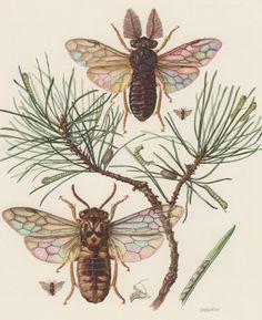 Hyménoptères 1956, entomologie, insecte impression Illustration, Vintage Lithographie Diprion pini, Diprionidae, conifères tenthrèdes, parasites, peste