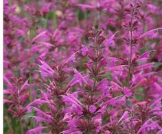 """Agastache 'Summer Love'  This new Hummingbird Mint has masses large red-purple flowers all summer and into fall. It forms an attractive upright mound to 36"""" tall and has bright green, fragrant foliage. This is a great perennial if you're in zone 6 or warmer and have good soil drainage."""