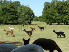 some of our alpaca babies (crias) running & playing.