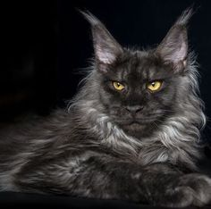 Image result for beautiful maine coon cates