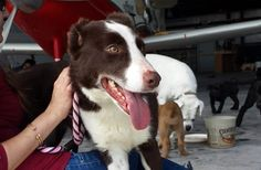 Irish Rose Maire is available for adoption! She's a beautiful 3 year old purebred Border Collie! #rescue #adopt #BorderCollie