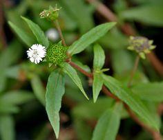 ႀကိတ္မွန္ Ayurvedic Plants, Itchy Scalp, Ayurvedic Medicine, Light Hair, Medicinal Plants, My Flower, Flowers, Hair Loss, Natural Remedies