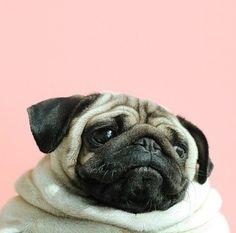 Imagem de pug, dog, and cute