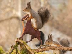 PHOTO: These squirrels were snapped posing on the toy horses by Geert Weggen, 48, a photographer and builder from Bispgarden, Sweden.