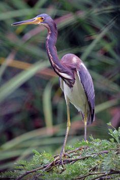 # Tricolored Heron (Photo by Greg Peterson) Birds in Aruba + birdwatching #birdwatching