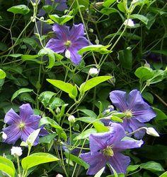 Clematis alp. 'Frances Rivis' - Arboretum Garden Centre