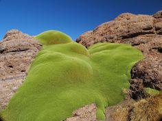 YARETA - A Fascinante Senhora dos Andes