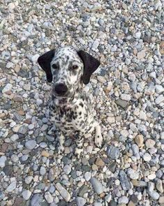 #dalmatien #dog #dogs #camouflage #amazing #beach