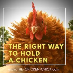 Holding a chicken correctly allows you to examine a chicken easily, keeps them calm and securely supported by their keel, (breast bone) and has the added benefit of keeping the working end of the bird away from you, greatly reducing the change of getting pooped on.